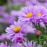 Aster Novi Belgii Stock Photo