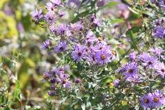 Aster, Nuova Inghilterra (nova-angliae di Symphyotrichum Fotografia Stock Libera da Diritti