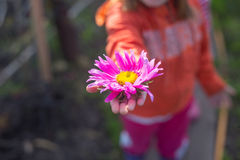 Aster on a palm of little girl Royalty Free Stock Images
