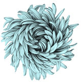 Aster. Pencil Drawing. Royalty Free Stock Photos