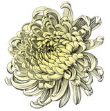 Aster. Pencil Drawing. Royalty Free Stock Image