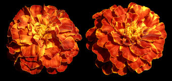 Aster perenne de la flor exótica del amarillo anaranjado aislado Fotos de archivo