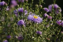 Aster perenni del giardino di colore viola Fiori autunnali del giardino fotografia stock