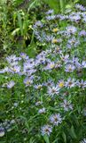 Aster perennial blue Stock Photography