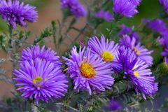 Aster perennial blue blooms in the garden Stock Photography