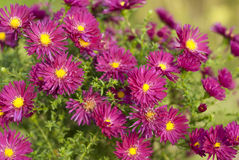 Aster perennial flowers Royalty Free Stock Photos