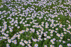Aster perennial flowers Royalty Free Stock Image