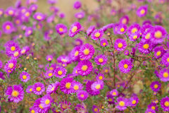 Aster perennial flowers Stock Photos