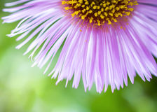 Aster petals Royalty Free Stock Images