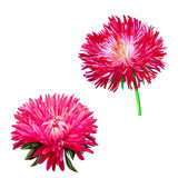 Aster. Pink flower, Spring flower. Isolated on Stock Photography