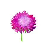 Aster. Pink flower, Spring flower. Isolated on Royalty Free Stock Photography