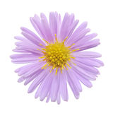 Aster Stock Photos