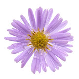 Aster. Pink aster isolated on a white background Royalty Free Stock Photos