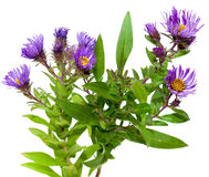 Aster Plants. Aster flower plants isolated on white background Royalty Free Stock Photos