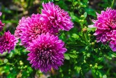 Aster, aster pourpre photo stock