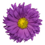 Aster pourpre d'isolement Image stock