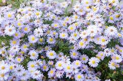 Aster pourpre de floraison dans le jardin sur un lit, Image libre de droits