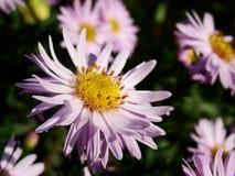 aster różowy fotografia stock