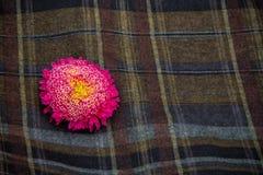 Aster rosa Fotografia Stock