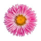 Aster rosa Immagine Stock Libera da Diritti