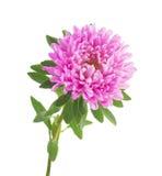 Aster rosa isolato su fondo bianco Fotografia Stock Libera da Diritti