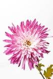 Aster rosado Imagenes de archivo