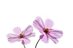 Aster rosado Fotografía de archivo libre de regalías