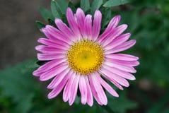 Aster rosado de la flor Fotos de archivo