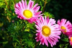 Aster rosado en jardín Imagen de archivo