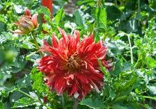 Aster rosso arancio dei fiori di cultorum della dalia di asteraceae in fioritura fotografie stock