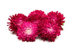 Aster rouge Photos stock