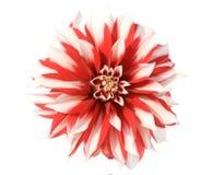 Aster rouge et blanc photographie stock libre de droits