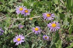 Aster sauvage de floraison Photographie stock libre de droits