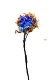 Aster secado extracto Fotografía de archivo libre de regalías