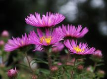 Aster selvaggio in giardino Fotografie Stock Libere da Diritti