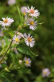 Aster. Small lilac Asters blooming along the Blue Ridge Parkway in South Carolina, USA Stock Photos
