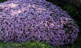 Aster. Species hybrids dumosus growth of about half a meter high and have smooth leaves. On the gardens are among the most popular, as there is a wide color Stock Photography