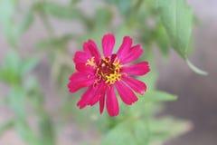 Aster, stokrotka, słonecznik, Asteraceae lub Compositae, zdjęcie stock