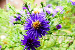Aster thomsonii Stock Images