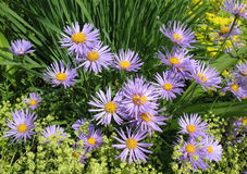 Aster Tongolensis And Alchemilla Mollis Stock Images