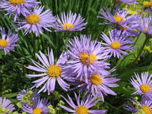Aster Tongolensis And Alchemilla Mollis Royalty Free Stock Photos