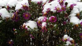 Aster under the snow Royalty Free Stock Photo
