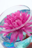 Aster in the vase. Red aster in a dark blue vase stock images