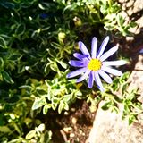 Aster stock photo