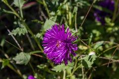 Aster violet Image stock