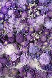 Aster Violet Background Stock Image