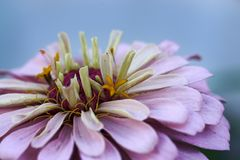 Aster violet blossom - Selective focus on the anthers Royalty Free Stock Image