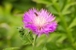 Aster violet flower Stock Photo