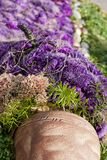 Aster Violet Pitcher Royalty Free Stock Images