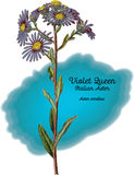 Aster Violet Queen Stock Photo